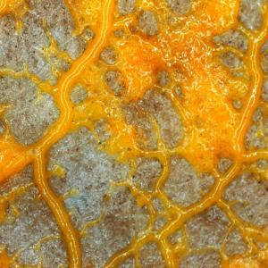 Mycetozoa、変性菌さん、粘菌さん。我等の大先祖様の片割れ。