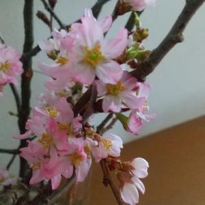 我が家に春がやってきた♡レビュー高評価の桜の枝「訳アリ品」を購入してみた結果…!