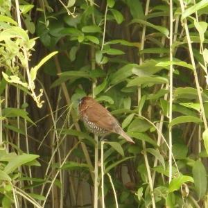 【写真】バリ島で出会った野鳥たち