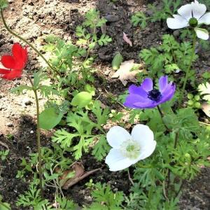 号外 1047 孫の花