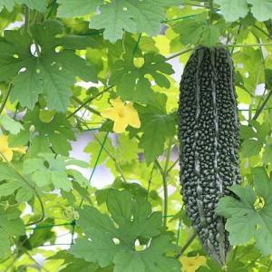 【初心者でも簡単】ゴーヤの育て方!種まき・肥料・支柱・摘芯・ネットなど栽培のコツを解説