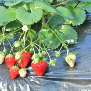 いちごの育て方!肥料・受粉・ランナーから子株を増やす方法など栽培のコツを紹介