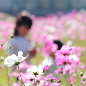11月14日 ギリギリセーフ! 恒例のコスモス畑で写真撮影