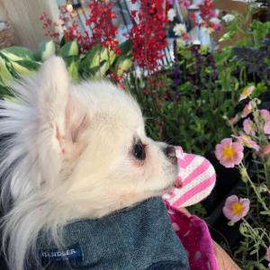 愛犬るいくんと花屋さんに行ったよの巻