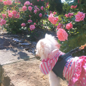 札幌大通公園12丁目のバラ園が美しい!るいくんと行ってきたよ
