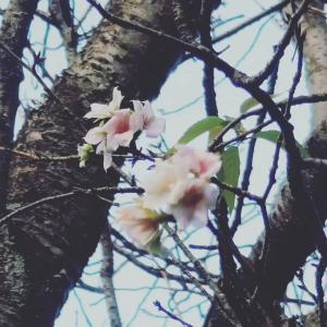 少し早いけども綺麗な桜が咲いていました