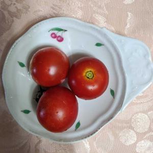 収穫したトマトを食べてみました!