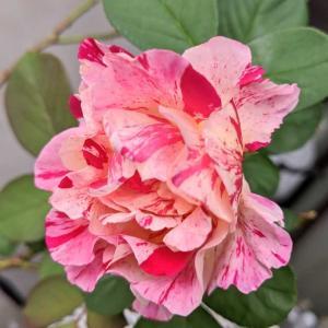 秋の気配 ~ベランダのバラも復活の兆し~