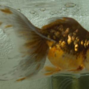 金魚の稚魚② 家康くん