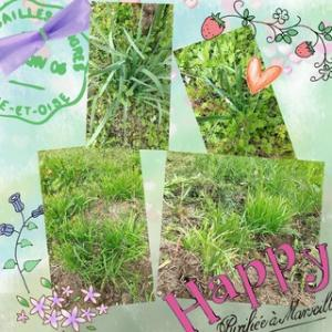 我が家の畑のニラたち