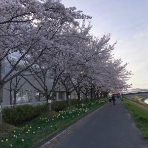 桜満開の休日は