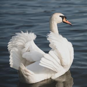 音楽から着想する『白鳥の湖』の役作り用考察
