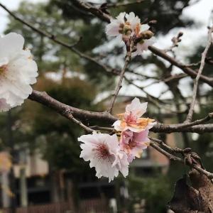 枯れ木に花 🌸 あれ〜忘れちゃいましたか?