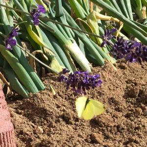 季節外れの迷い蝶々 🦋 どこへ行く?