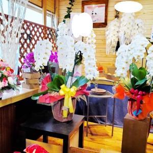 お祝いの鉢物がたくさん入荷しました 胡蝶蘭 観葉植物