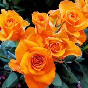 9月5日花国湘南台店 リアル店舗 すてきなバラがたくさん入荷しました!