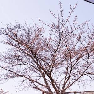 桜咲いたよ!希望のさくら!