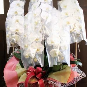 ホープ 希望の胡蝶蘭