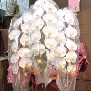 7月15日大安お祝いの胡蝶蘭 花国湘南台店リアル店舗
