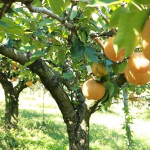梨の季節ですね