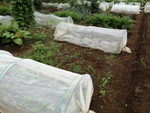 雨の合間に畑作業