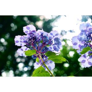 紫陽花お散歩
