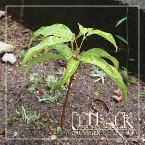 国産ライチの種が芽吹きました