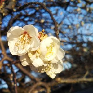 梅の花、さいてました