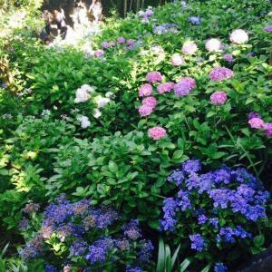 紫陽花の思い出