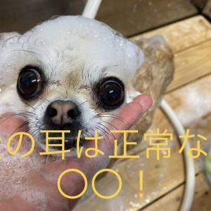 【さいたま市トリミング】犬の耳は正常なら〇〇!?
