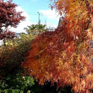 我が家の庭も晩秋の様相に ・・・気温も低く寒いです!