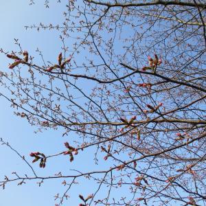 季節の花を楽しみながらの散歩 ・・・キタコブシやハクモクレンが!