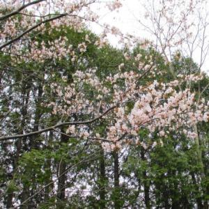 てくてく散歩 ・・・桜の花が咲いてはいたが!