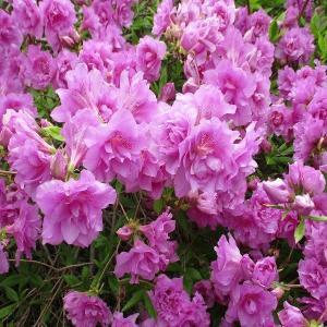我が家の庭の花たち ・・・ムラサキツツジ八重・忘れな草など!