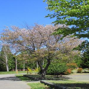 青空の下で散歩 ・・・まだ残っている桜の花も!