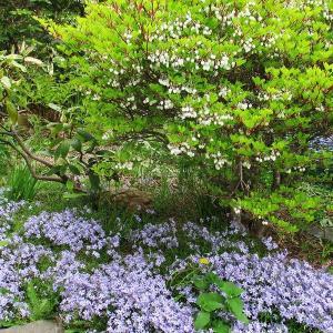 我が家の庭のツツジたちが開花の準備中!
