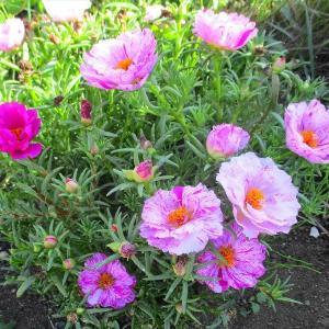 我が家の家庭菜園 ・・・自然の力は素晴らしい!
