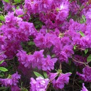 我が家の庭はツツジの開花で少し賑やかに!