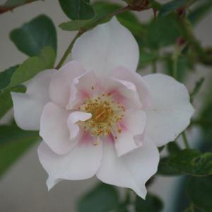 クードゥクールの花が咲いていた