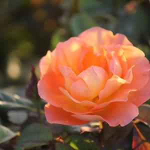 地植えにした薔薇① ~イングリッシュローズ~