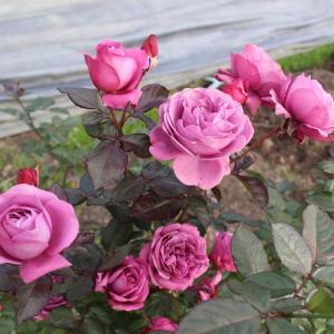 プラムパーフェクト 今日の薔薇