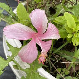 ピンクのハイビスカスが咲きました