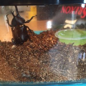 カブトムシの飼育