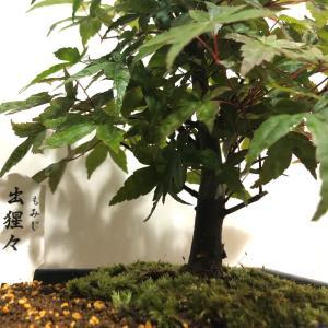 結局、もみじ盆栽を化粧鉢に植え替えました。