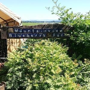 ブルーベリー狩り(Mountainview blueberry farm)を初体験!