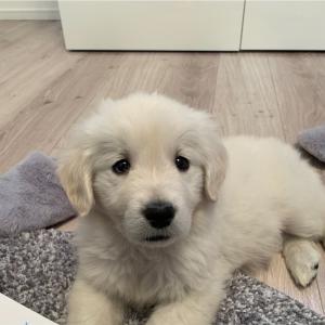 ゴールデンレトリバーの子犬がやってきた!我が家に来た日のむうさん