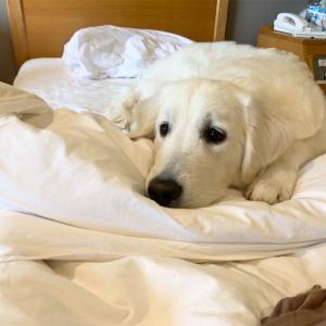 大型犬むうさん朝のルーティン