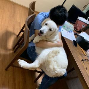 膝乗り犬になりたいゴールデンレトリバー