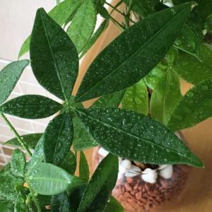 【おうち時間】観葉植物にどハマり中! 虫が苦手でもハイドロカルチャーなら大丈夫でした!