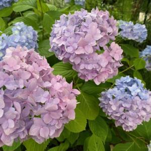 日々変わっていく紫陽花の色。